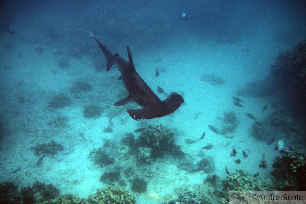 Tubarões me mordam - Tubarão-martelo filhote