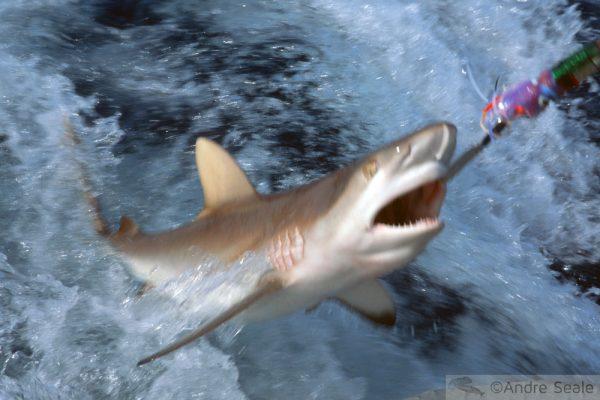Pesca de tubarão