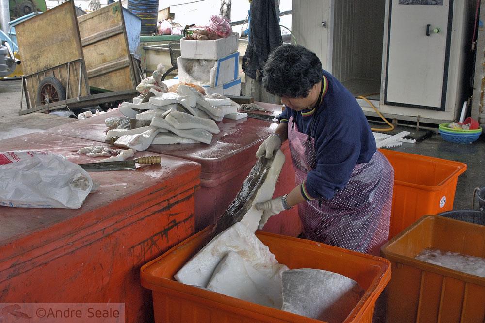 Processamento de carne de tubarão-baleia - Suao - Taiwan
