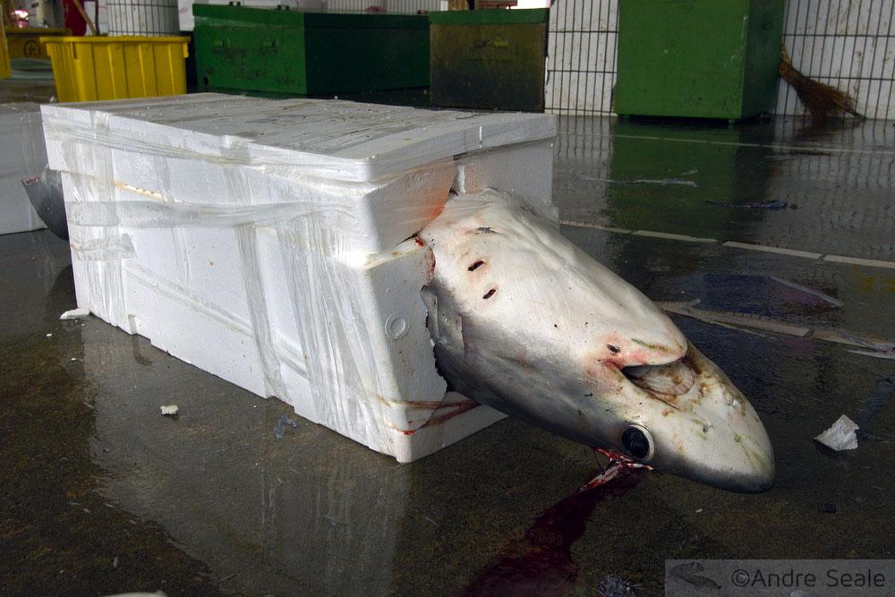 Tubarão encaixotado para venda