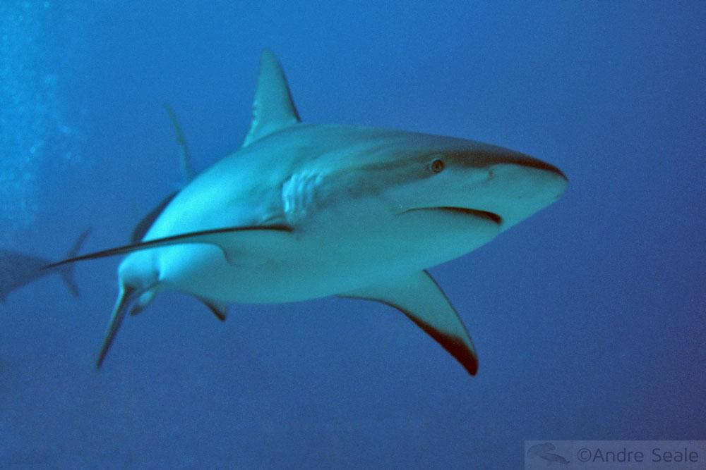 Tubarão no mar