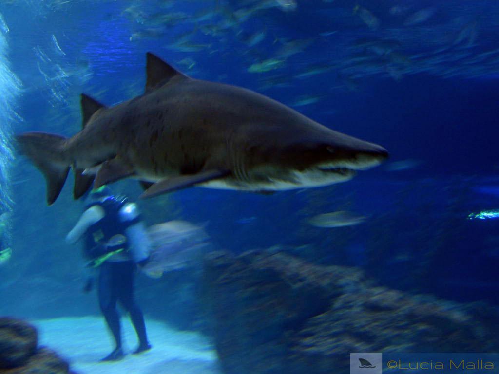 Tubarão - Aquário de Busan