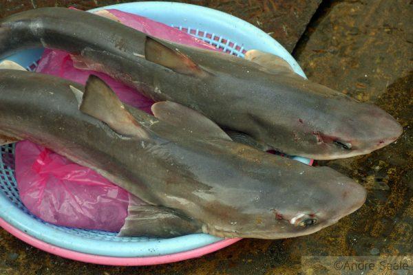 Tubarões cachorro à venda em Busan - Coréia do Sul