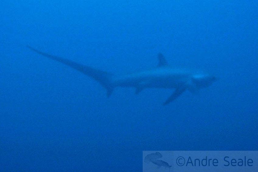 Tubarão-raposa - Thresher shark - Alopias vulpinus - Tubarões me mordam