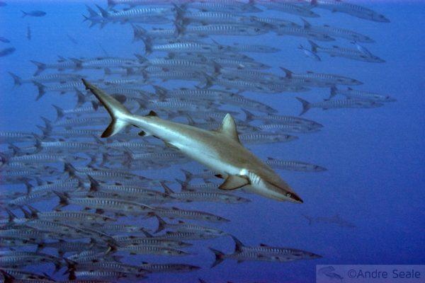 Por que Palau? Tubarões