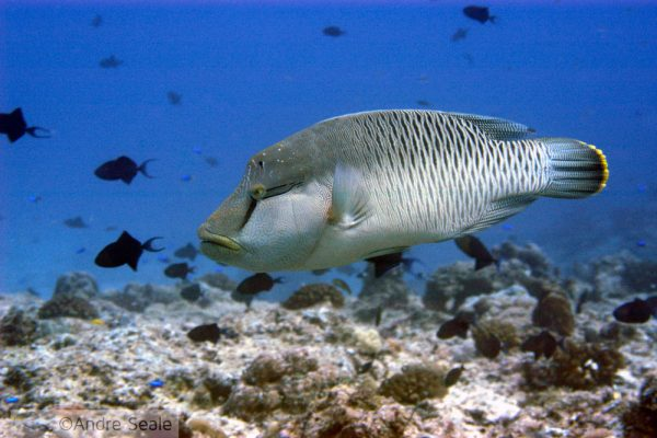 Peixe-napoleão
