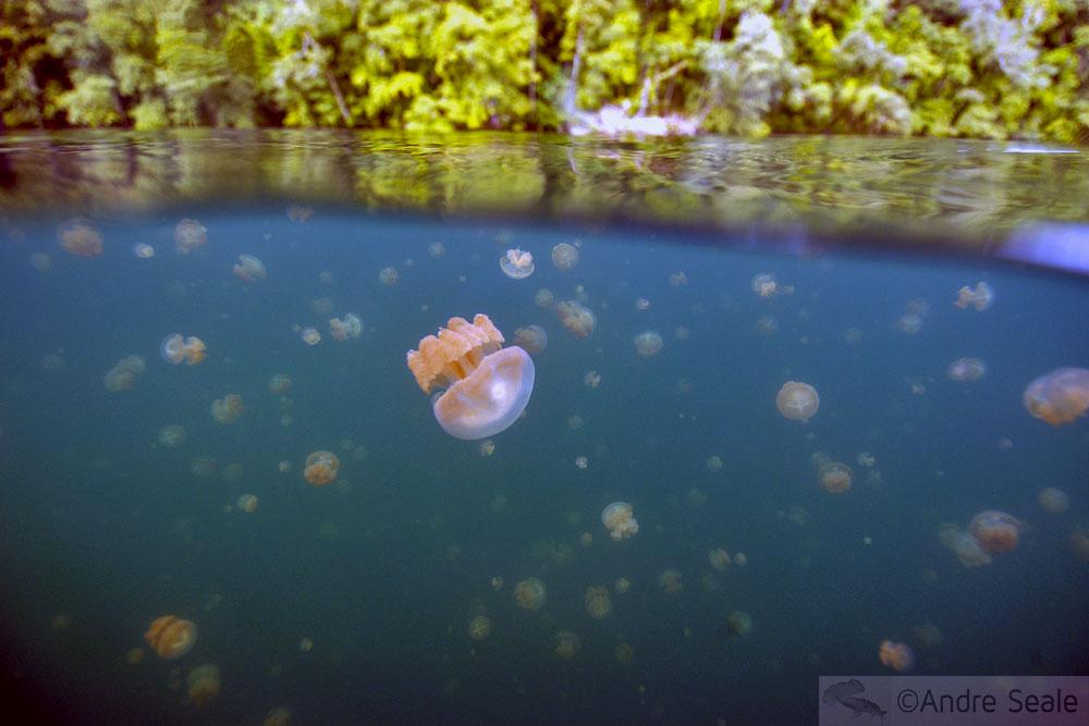 Lake with jellyfishes - Palau - Lago das Águas-Vivas