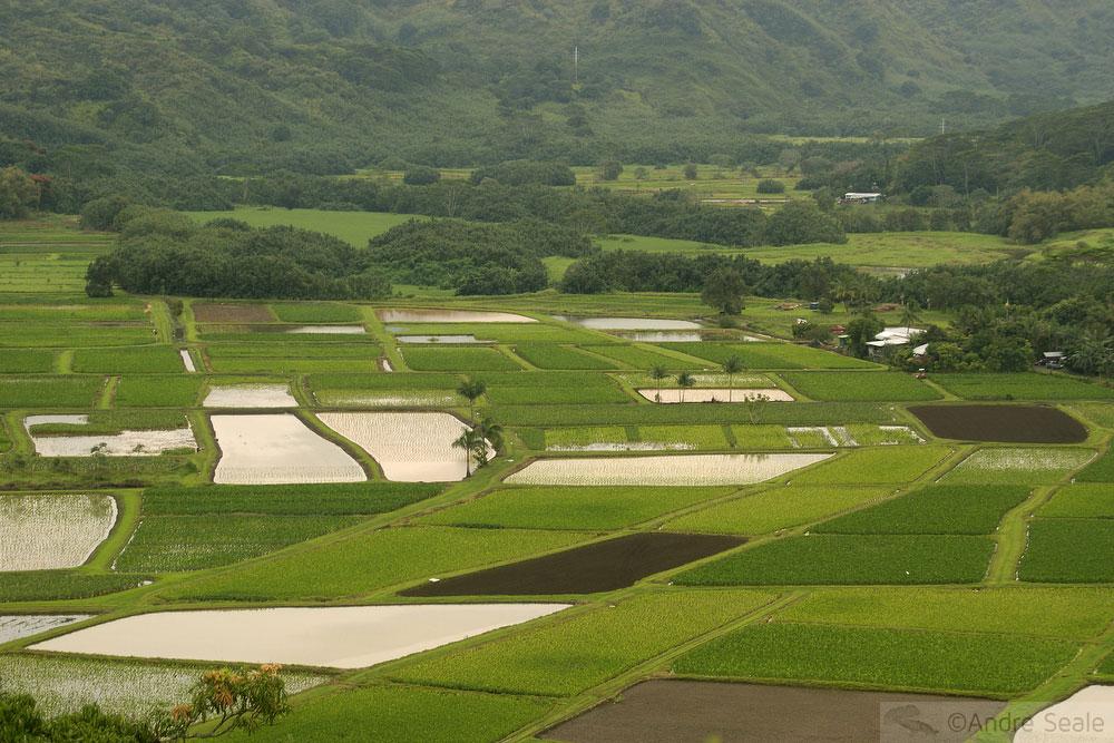 As águas do Kauai - plantação de taro em Hanalei - Roteiro Havaí