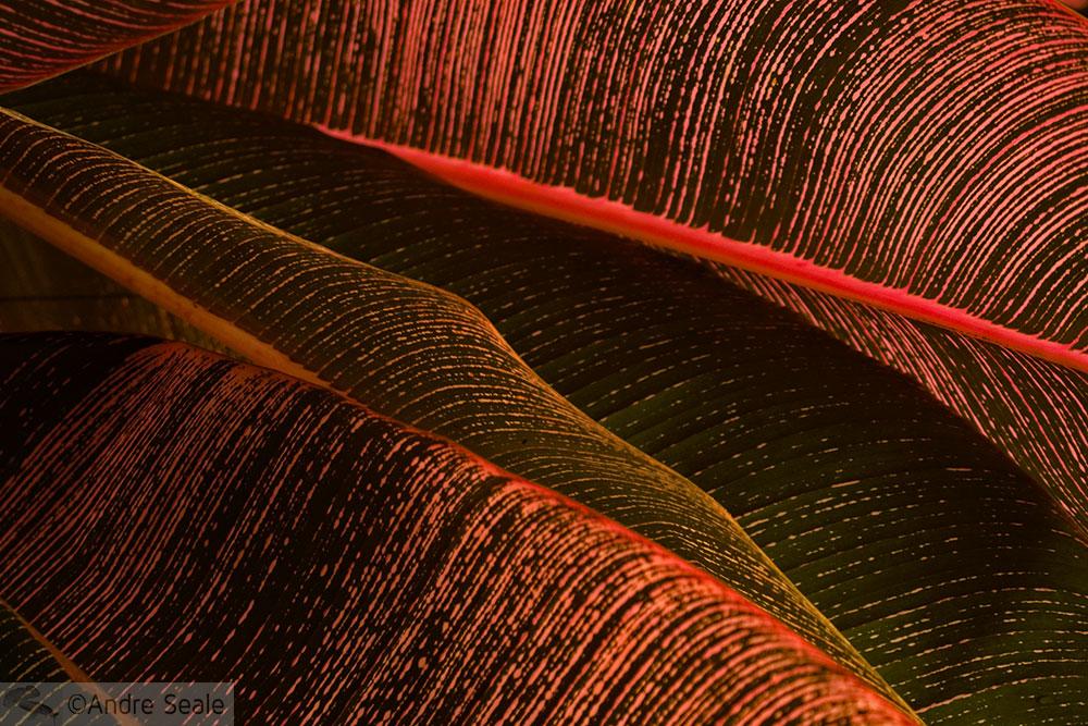 Detalhe de uma folha vermelha - Jardim Botânico de Hilo - Big Island