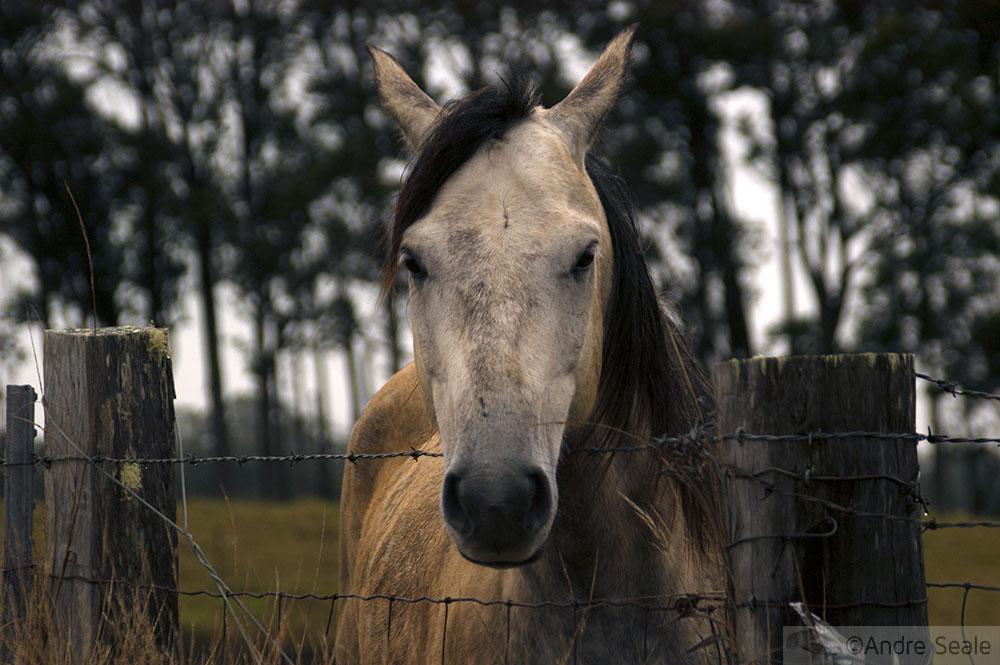 cavalo em Waimea - Big Island - Havaí