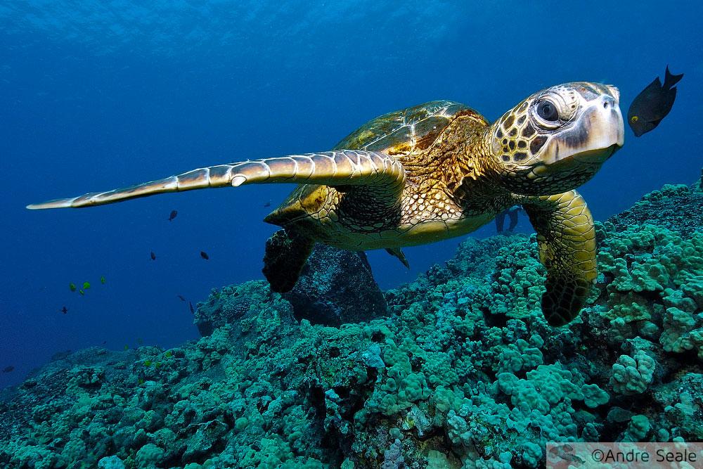Pequena Kona da grande fauna marinha - tartaruga verde