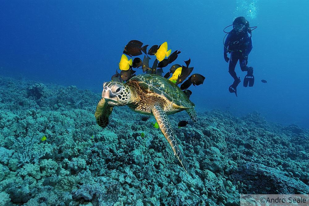 Mergulho com tartaruga verde - Fauna marinha da Big Island