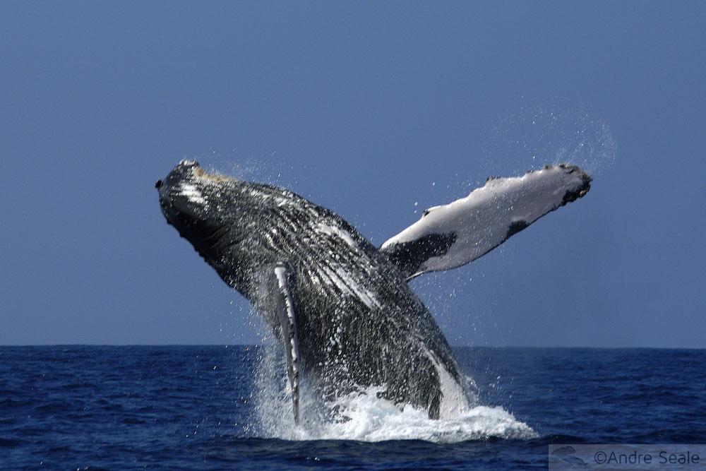 Fauna marinha: Baleias jubarte - visita a Kona - Big Island
