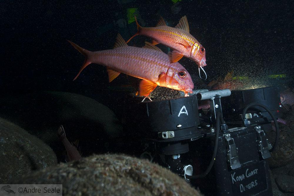 Pequena Kona da grande fauna marinha - mergulho noturno