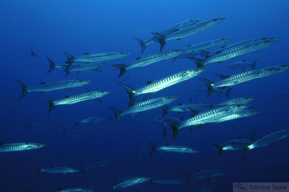 Barracudas - atol de Namu - Ilhas Marshall