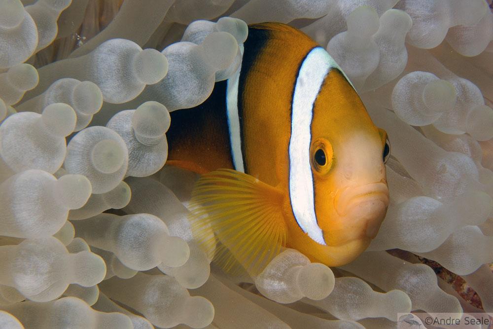 Peixe-palhaço - Ilhas Marshall