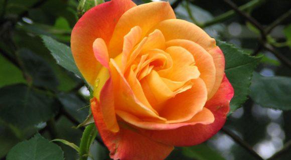As rosas conspiram em Portland