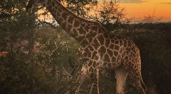 Coração de girafa