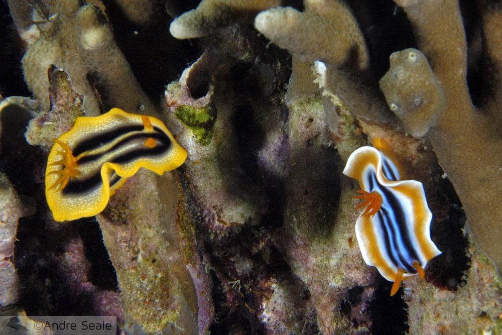 Nudibrânquios coloridos