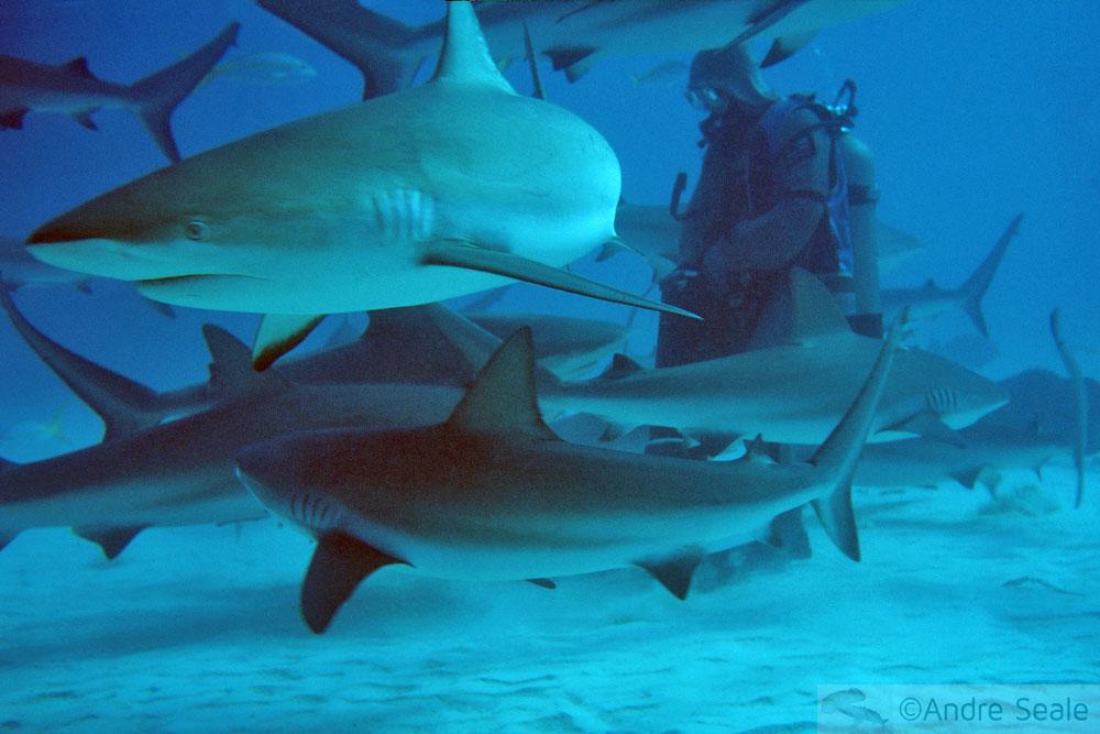 Alimentação de tubarões nas Bahamas