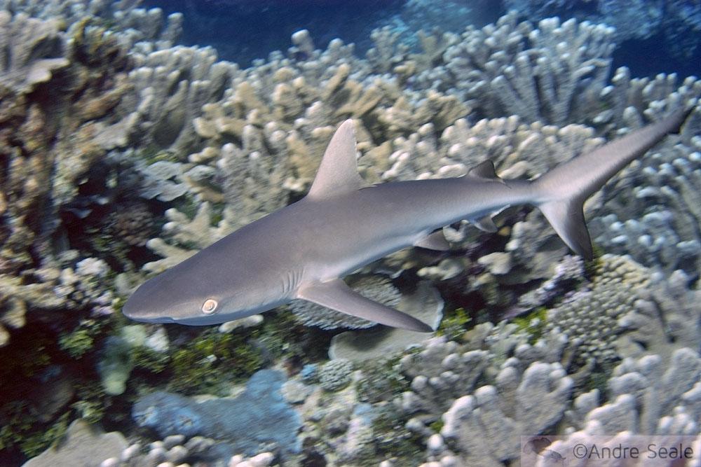 Tubarão nada em recife de coral