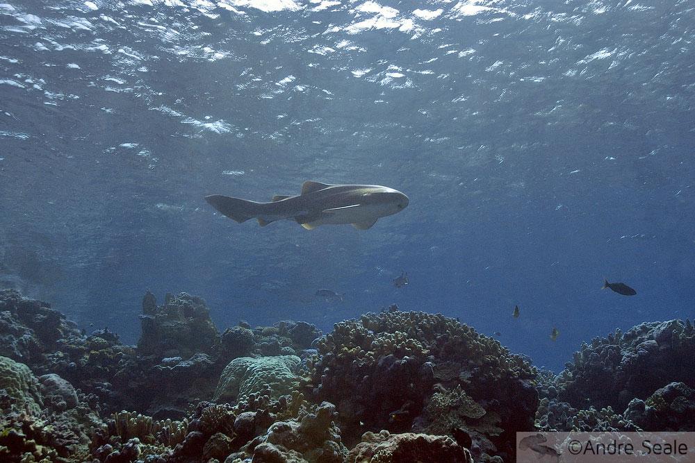 Tubarão zebra