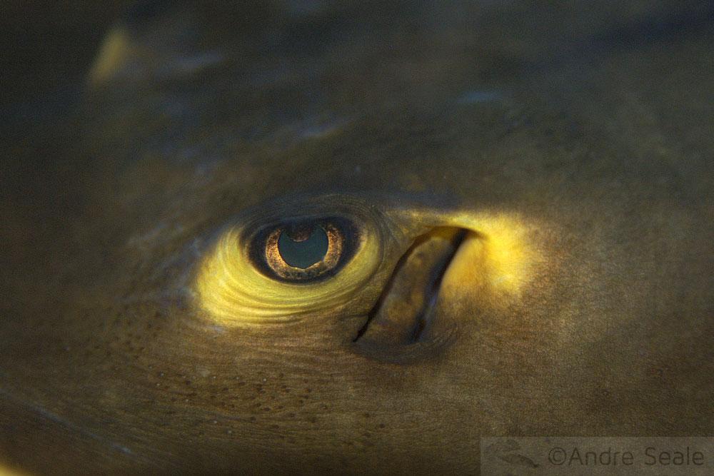 Olho de uma arraia
