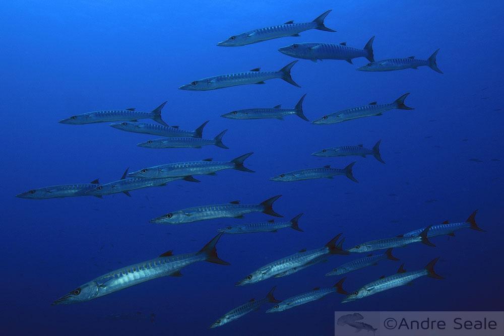Rastelando o mar - barracudas