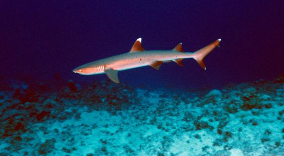Pró-tubarão