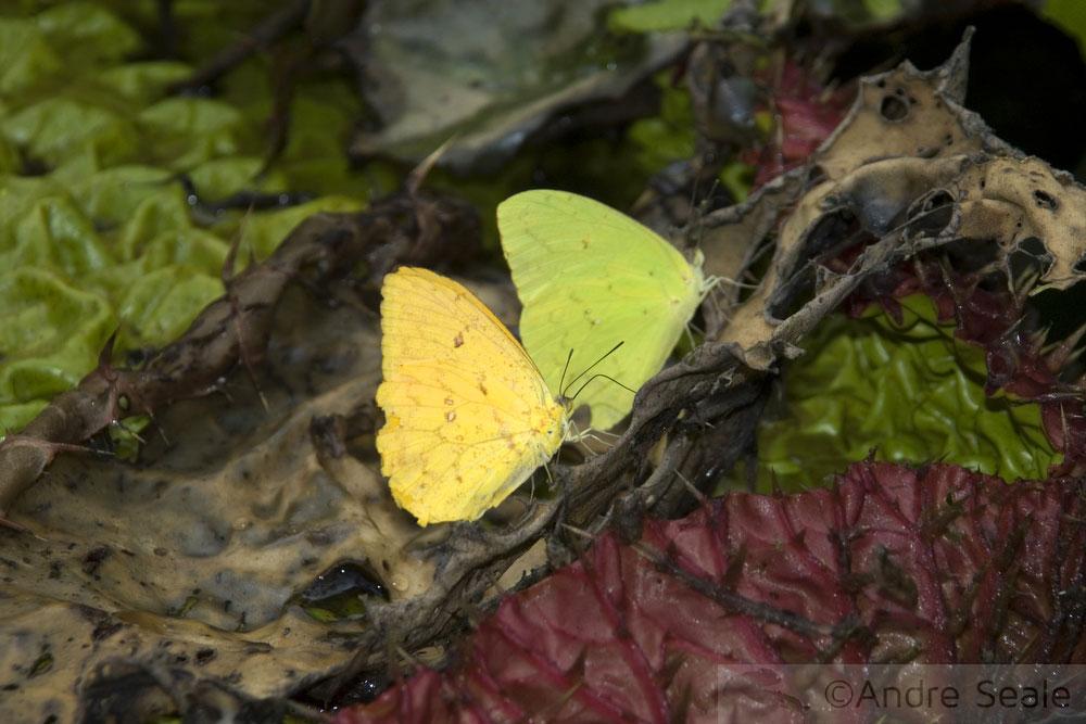 Duas borboletas
