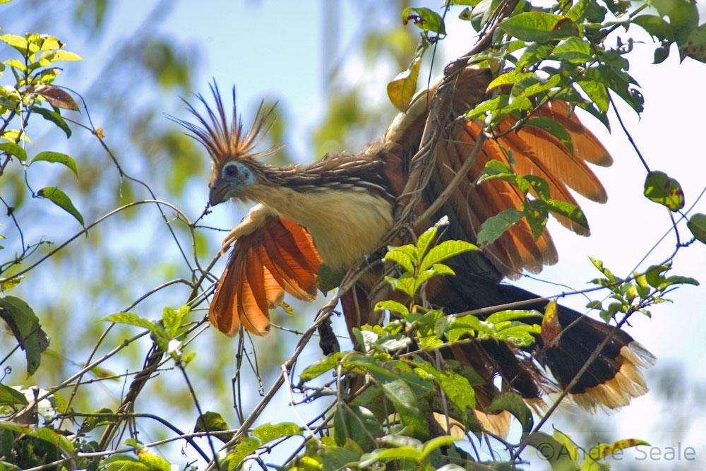 Em Mamirauá - ave cigana - animal de estimação da pousda Uacari