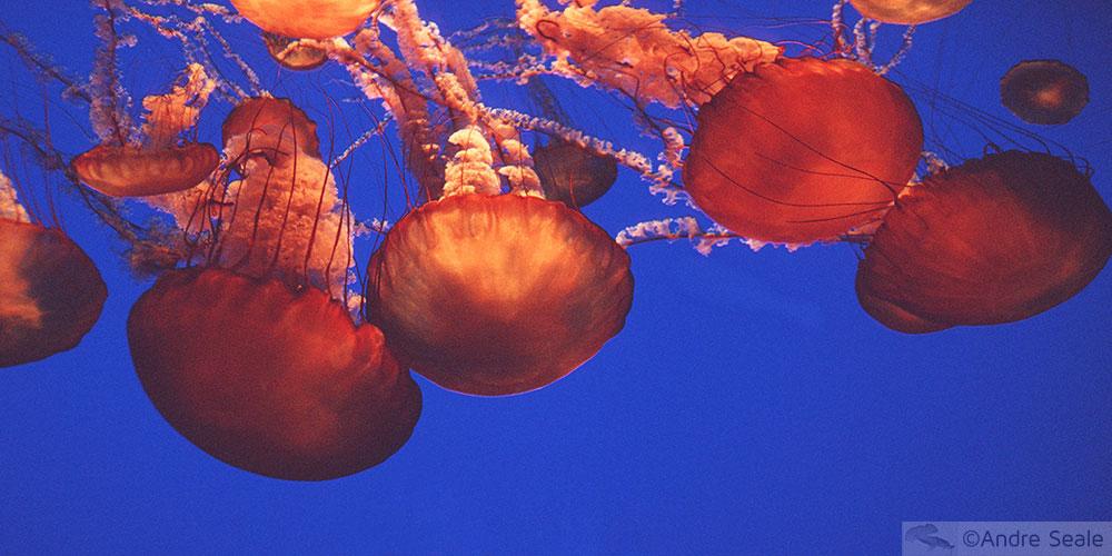 Balanço 2007 - água-viva de Monterey