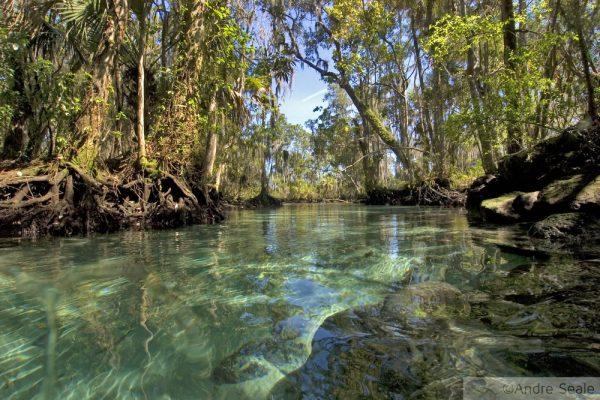 Peixe-boi - Crystal River - Three Springs