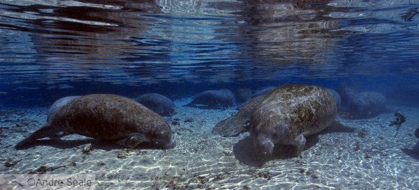Peixe-boi - Florida