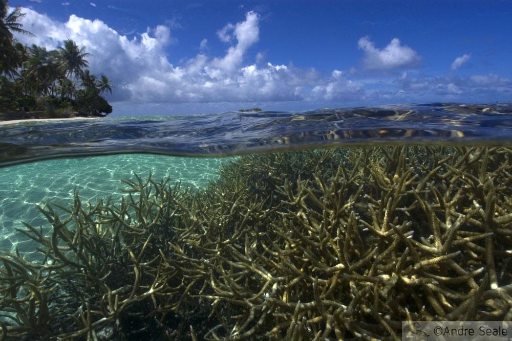 Corais Acropora - Laguna de truk - Chuuk - Micronésia