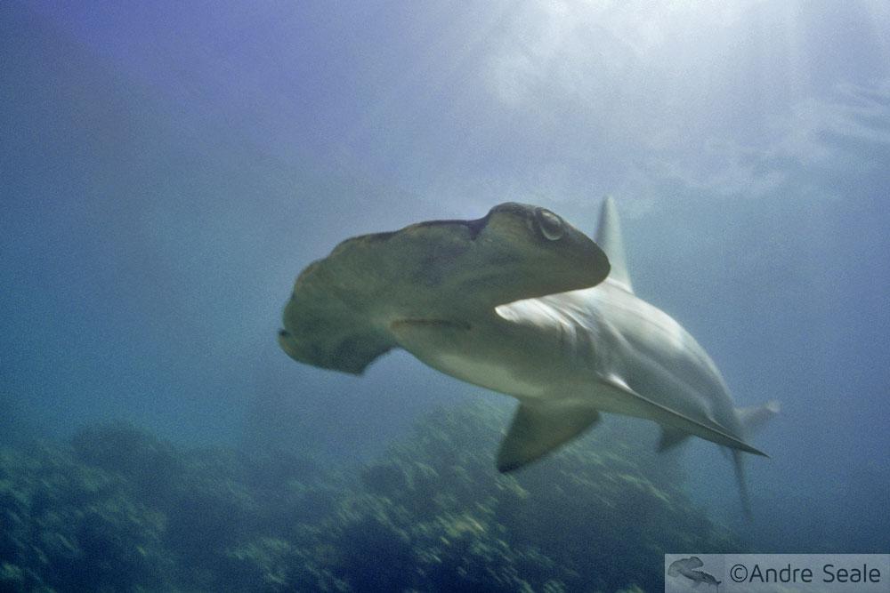 ONU e os tubarões - tubarão-martelo