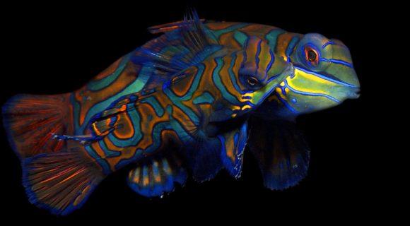 Sexta Sub: Um casal de peixes-mandarim