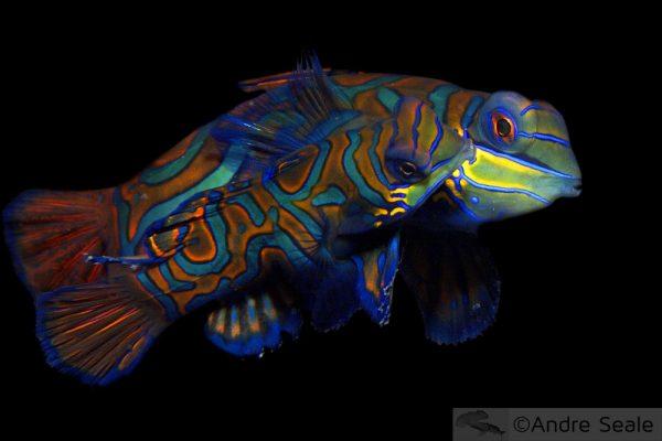Peixes-mandarim