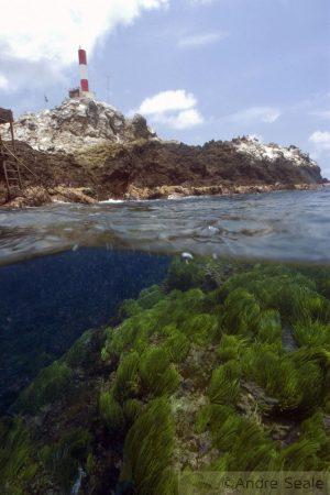 Arquipélago de São Pedro e São Paulo - alga caulerpa