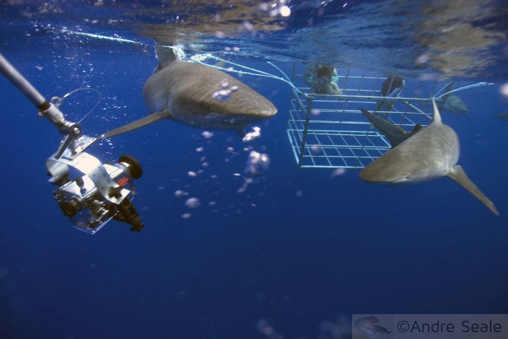 Tubarões em Ação