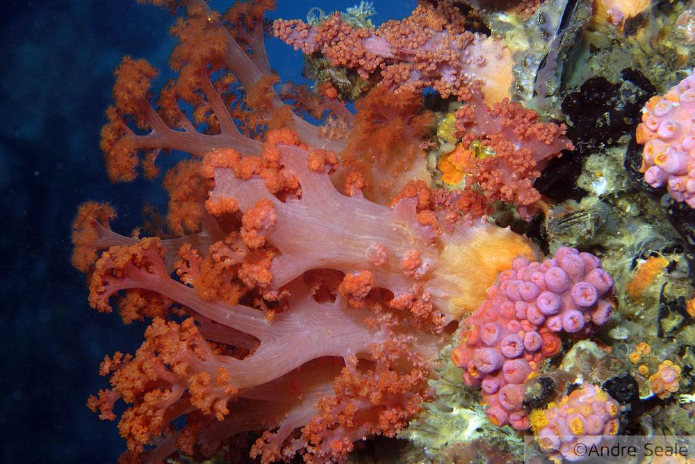 Semana dos Recifes de Coral - coral mole