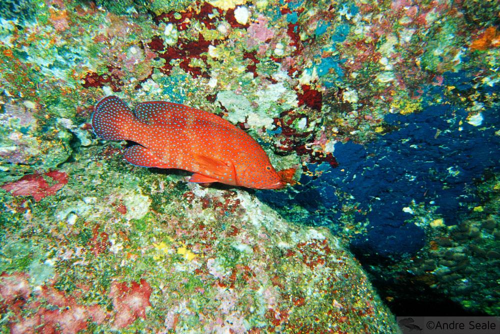 Mar de cores - garoupa