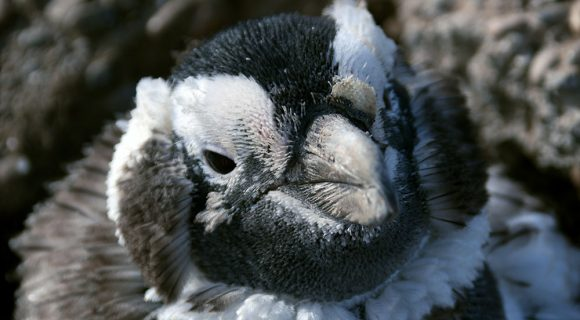 Entre os pingüins de Magalhães
