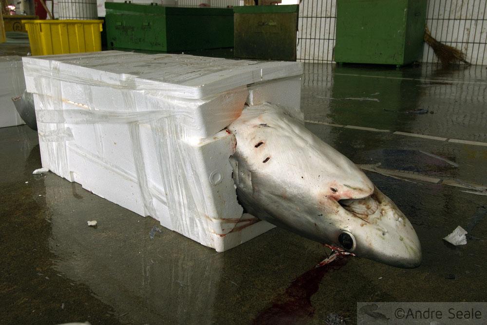 Tubarão encaixotado - ameaçados de extinção