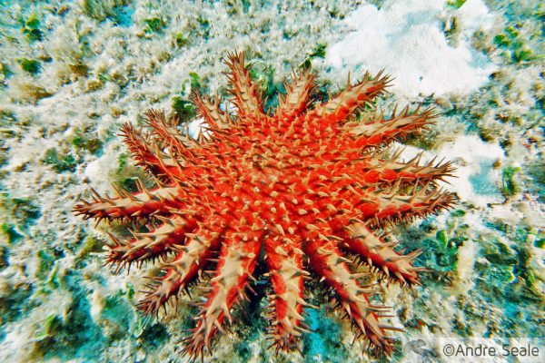 Estrela coroa-de-espinhos - praga dos corais