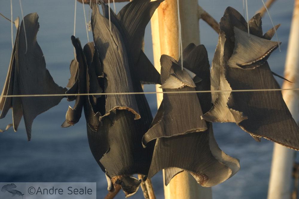 Barbatanas de tubarão sendo secas