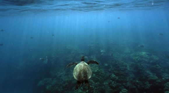 Sexta Sub: Uma tartaruga marinha em Hanauma