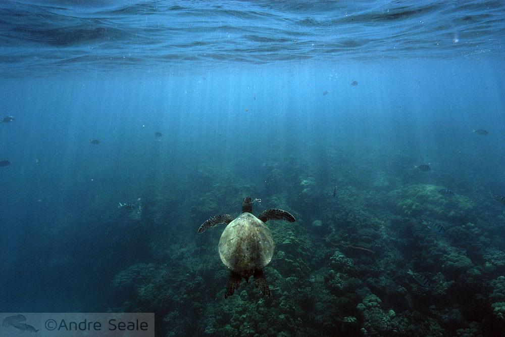 Tartaruga marinha - Hanauma Bay