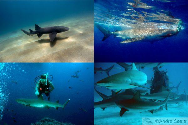 Shark edition