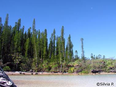 Araucárias da Nova Caledônia
